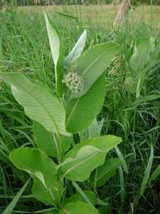 young-milkweed