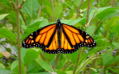 Monarch 400 x 250